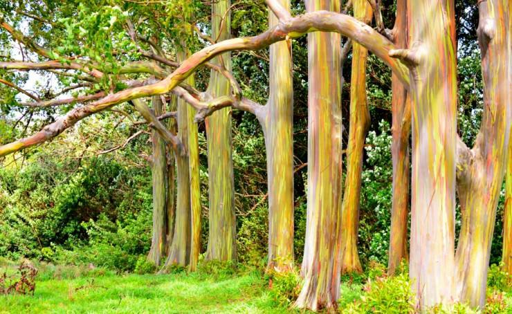 eukaliptus2