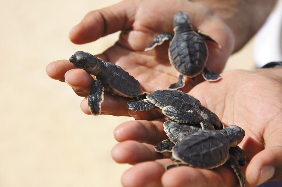 bebe kornjače