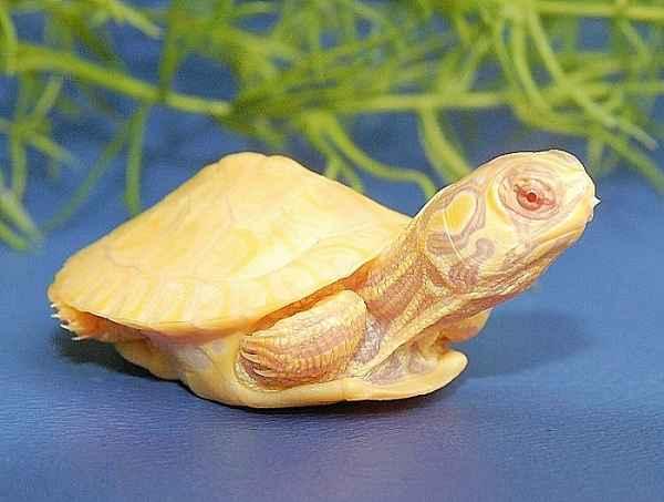 albino kornjača
