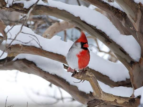 crveni kardinal