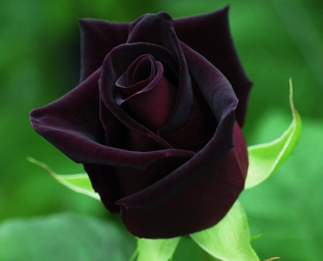 turska crna ruza