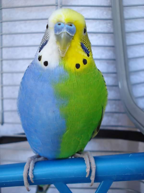 plavo zeleni papagaj