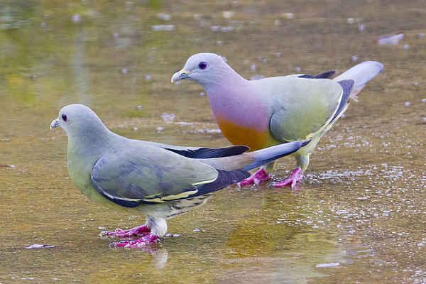 sareni golub1