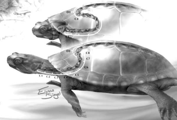 kornjaca kicma