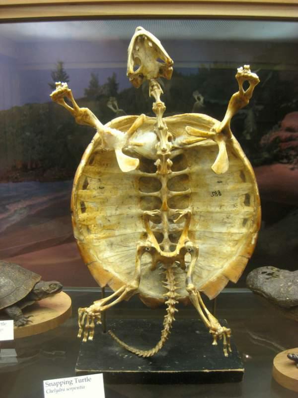 kornjaca kostur