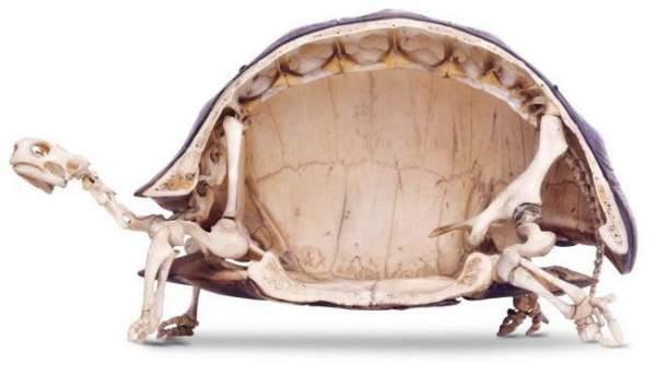 kornjacin oklop