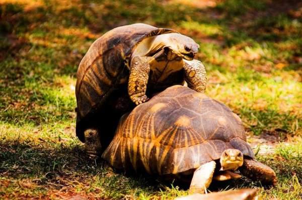 parenje kornjace
