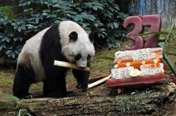 najstarija panda