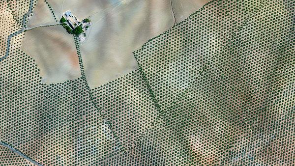 Plantaža maslina u Kordobi (Španija)