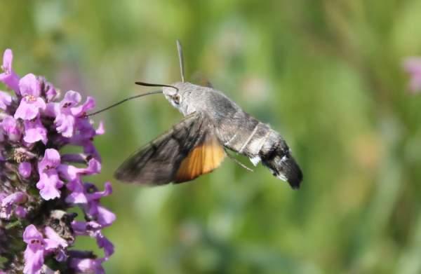 kolibri leptir