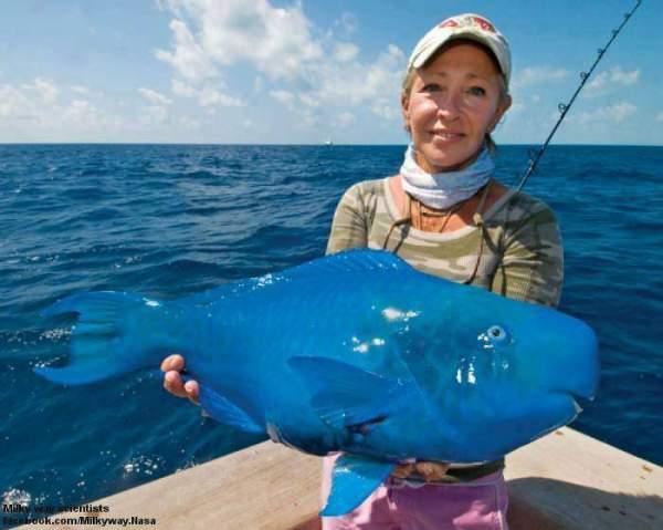 plava papagaj riba