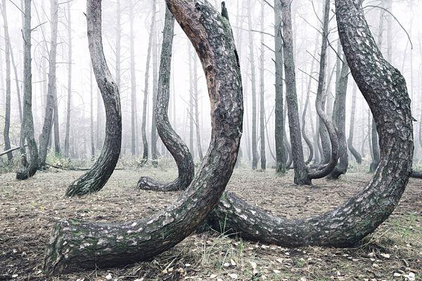 iskrivljena šuma