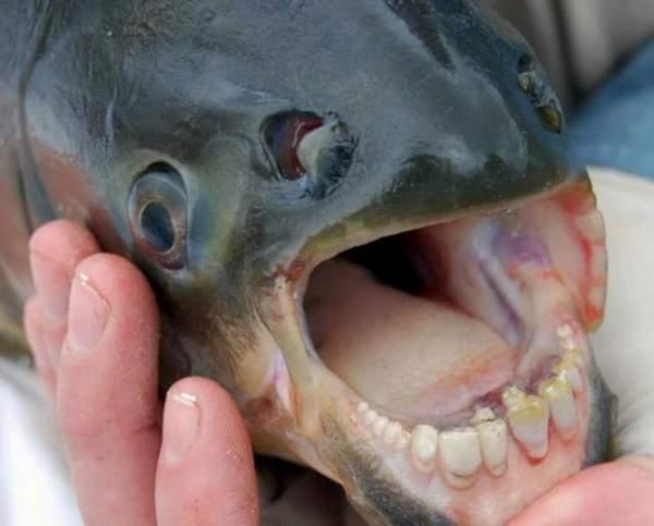riba sa ljudskim zubima