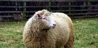 ovca doli