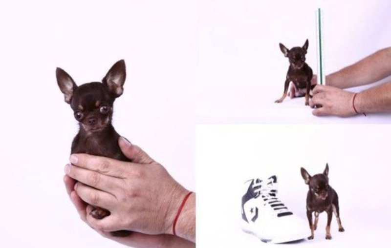 najmanji pas