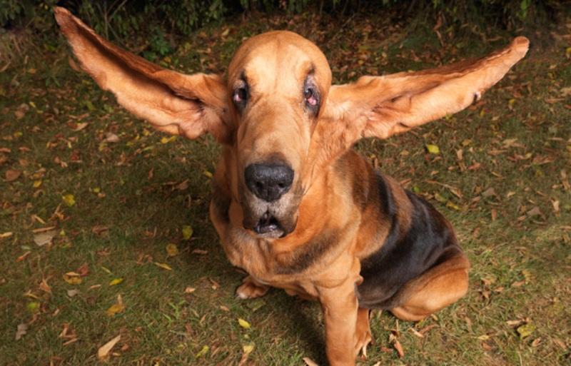 pas sa najdužim ušima